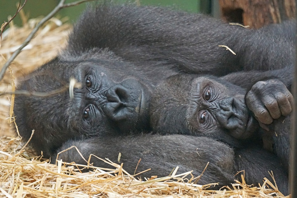 gorilas2