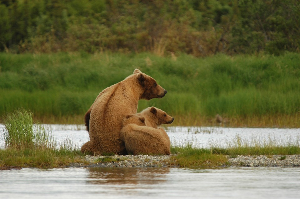 bears-2035489_960_720
